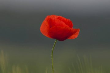 Red Poppy- Lest We Forget